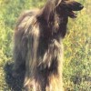 Собака афган