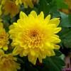Хризантема растение