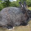 Порода кроликов коротковолосый