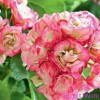 Пеларгония растение цветок