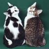 Стандарт короткошерстных кошек