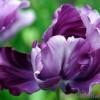Попугайные тюльпаны