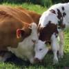 Роды коровы