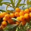 Плоды растения облепихи