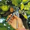 Обрезка плодовых деревьев. Август