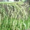 Сорняки растений и трав