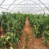 Овощеводство. Овощные садовые растения