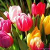 Зимостойкость тюльпанов