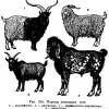 Порода коз