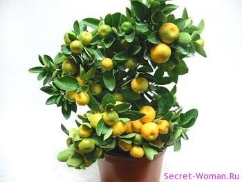 лимон растения фото