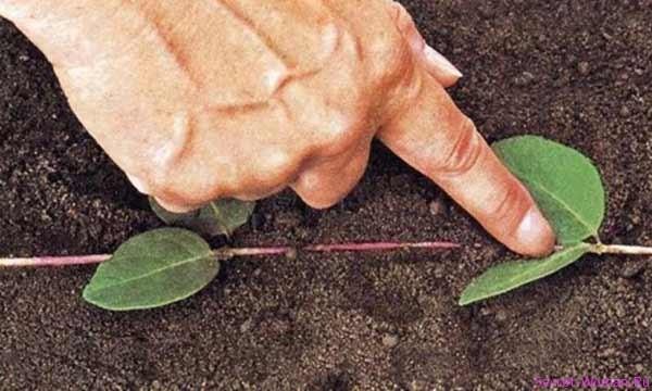 Когда лучше сажать бирючину весной или осенью 60