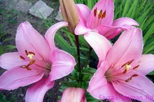Садовый цветок Хоста